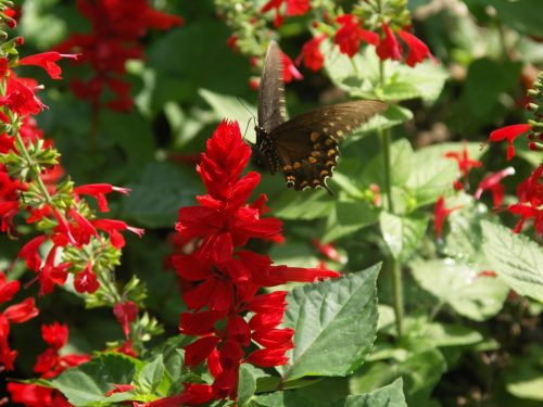 black swallowtail on red flowers